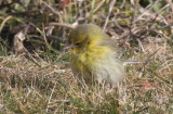 Pine Warbler - Duxbury Beach, MA - January 21, 2013  [1 of 4]