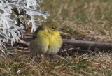 Pine Warbler - Duxbury Beach, MA - January 21, 2013  [2 of 4]