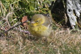 Pine Warbler - Duxbury Beach, MA - January 21, 2013  [3 of 4]