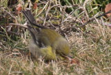 Pine Warbler - Duxbury Beach, MA - January 21, 2013  [4 of 4]