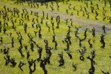 Vines doing the Twist in the Corbières