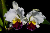 One of the many crossbreeds of Cattleya percivalliana semi-alba