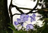 Vanda coerulea, flowers 6 cm