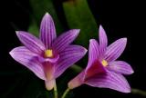 Dendrobium Goldschmitianum