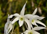 Dendrobium monilliforme