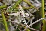 Dendrobium beckleri