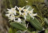 Dendrobium linguiforme var. nurgentii