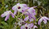 Dendrobium transparense