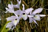 Cattleya rufescens