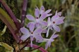 Ascocentrum cristensonianum