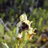 Ophrys bornmuelleri var.  ziyaretiana