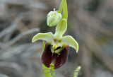 Ophrys bornmuelleri, pollinated