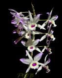 Dendrobium, undescribed form of nobile or lituiflorum