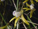 Dendrobium mortii