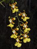 Oncidium Obryzatum
