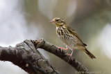 Siberische Boompieper / Olive-backed Pipit