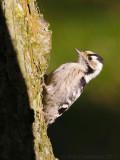 Kleine Bonte Specht / Lesser Spotted Woodpecker
