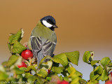 Koolmees / Great Tit