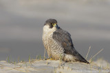 Slechtvalk / Peregrine Falcon