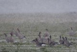 Kolgans / Greater White-fronted Goose