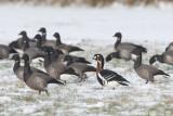 Red-breasted Goose - Roodhalsgans - Branta ruficollis