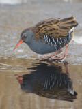 Water Rail - Waterral - Rallus aquaticus