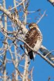 Buse à queue rousse (Red-tailed hawk)