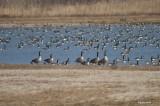 Bernaches du Canda (Canada goose)