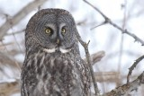 Chouette lapone (Great gray owl)
