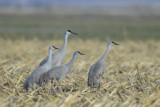Sandhill Cranes  0313-1j  Marion Drain