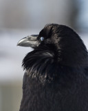 Raven looking ahead, nictating membrane closed over eye.