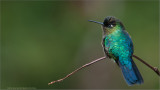 Fiery-throarted Hummingbird