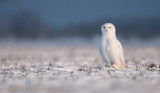 Snowy Owl 2560 x 1440