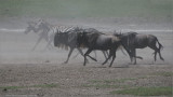 Zebras and Wildebeest on the Run