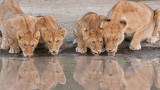 Lion Family on the Waters Edge 2560 x 1440