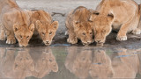 Lion Family on the Waters Edge