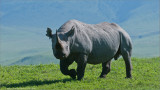 Black Rhinocerous