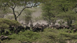Wildebeest Migration 2560 x 1440