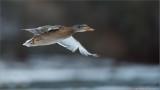 Mallard Duck in Flight