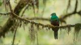 Juvenile Male Quetzal