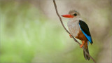Brown Headed Kingfisher