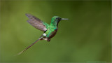 Male Green Thorntail Hummingbird