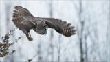 Great Gray Owl in Flight (no bait)