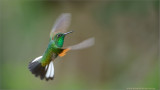 Stripe-tailed Hummingbird in Flight