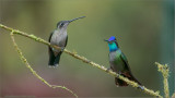 Magnificent Hummingbirds (female left - male right)