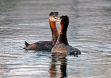 Red-necked Grebes 9