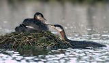Red-necked Grebes 10