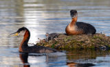 Red-necked Grebes 14