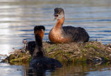 Red-necked Grebes 16