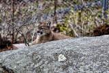 Cougar Sunning On Rock
